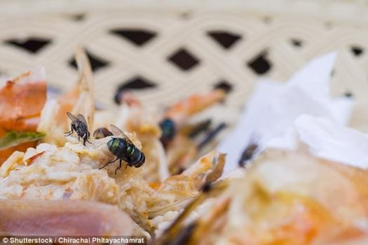 Flies carry hundreds of bacteria - some harmful to humans on their legs and wings
