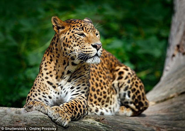 One safari guide told MailOnline Travel that if a leopard wanted to kill you, 'you'd be dead before you hit the ground'