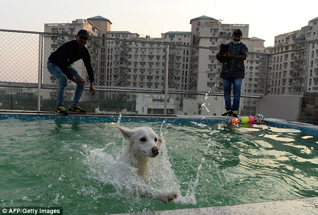 One dog takes a dip in the rooftop pool at Critterati as staff keep an eye on proceedings