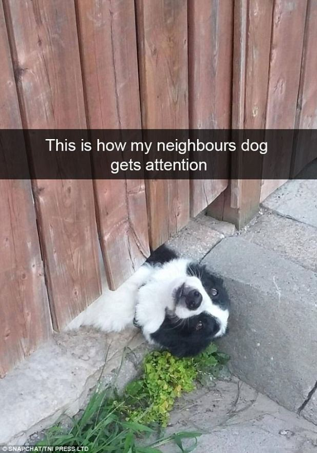 This border collie takes getting to know the neighbours to a whole new level, squeezing under the gap of his fence to say hello to passers by