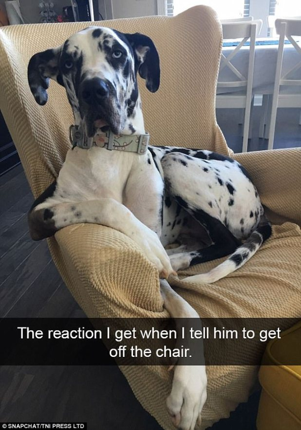 This great dane took a rather dim view of being told to get off his owners favourite chair