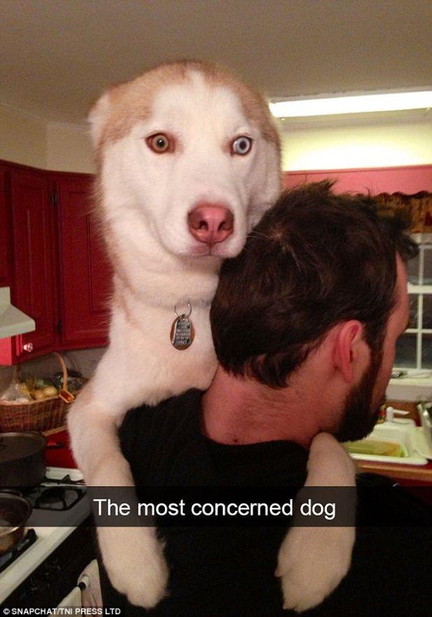 Este hermoso husky necesita un abrazo de su amigo humano después de ser atrapado con esta expresión hilarante que se parece a su contemplación del significado de su existencia