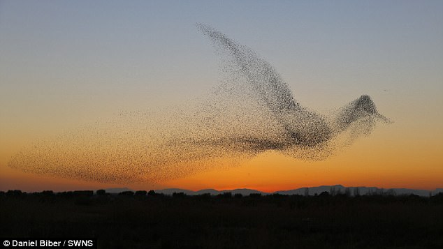 A photographer claims to have captured the perfect moment a murmuratuion of starlings took the form of a giant bird