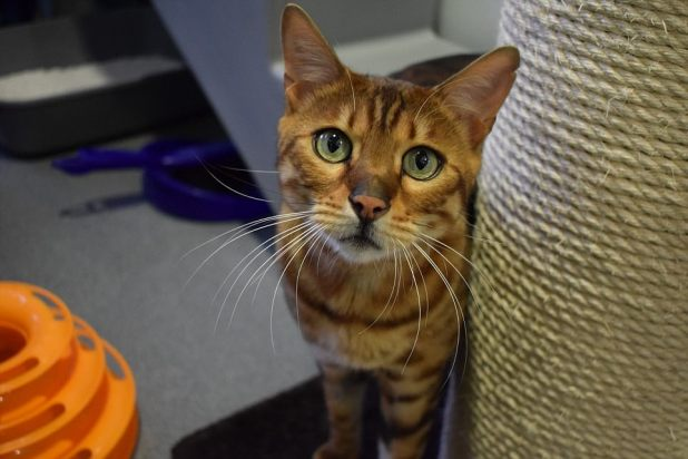 Buddy Undergo, a Bengal cat, arrived on the London Battersea plan the next day, after his owner may possibly possibly perchance possibly also no longer see after him due to having a minute bit one