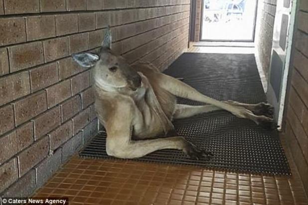 Un turista ha bloqueado hilarantemente el uso de un baño público por un canguro en una pose muy seductora