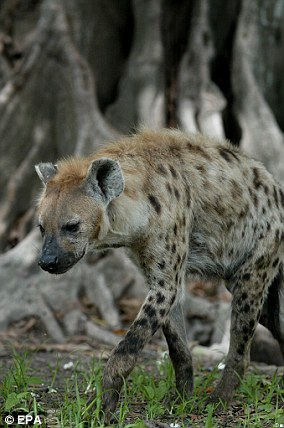 Spotted hyenas are native to Sub-Saharan Africa. File photo