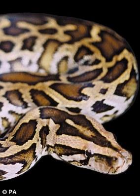 Burmese pythons can grow up to 23ft