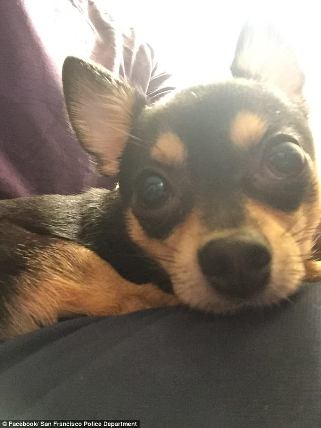 A man's beloved Chihuahua, named Dunky (pictured), was thrown to his death from the seventh floor of a parking garage after a burglar broke into his car in California