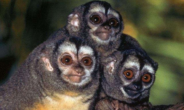 owl monkeys as pets