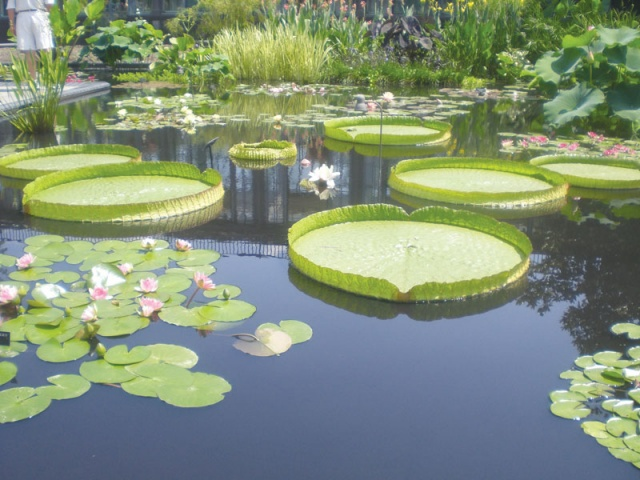 Water Lilies Shallow Ponds