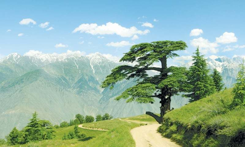 Clockwise from top: The magnificent 300-year-old Deodar Cedar tree dubbed Chaghbini by the locals located on the main track of the park; a man looking through binoculars at the lookout point at the Chitral Gol National Park; a Markhor, Pakistan's national animal, spotted at the park; a bird's eye view of the park; the Shahi Mosque built in 1924 in Chitral city | Photos provided by the writer