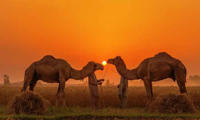اونٹ اور سورج.— فوٹو سید مہدی بخاری۔