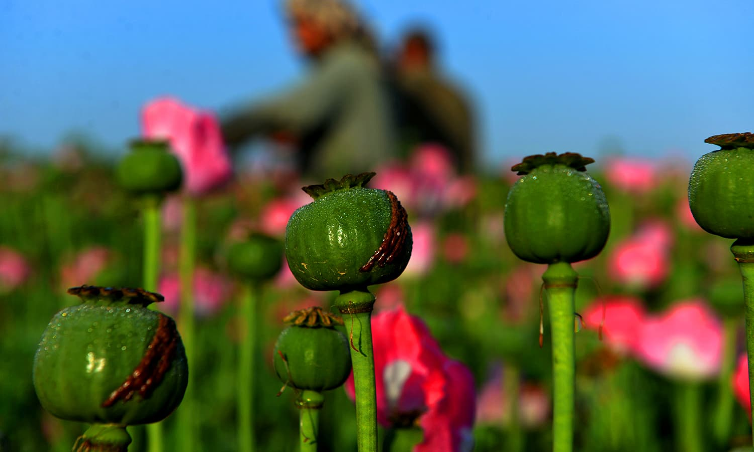 Afghan farmers harvest opium sap from a poppy field in Zari District. ─ AFP