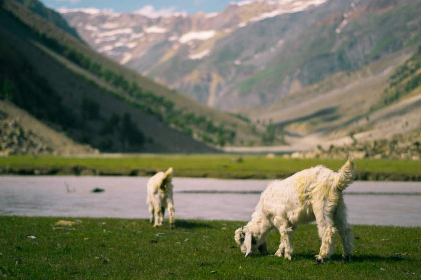 The cattle of nomad families have a feast on the green riversides