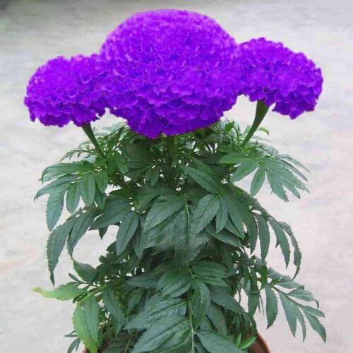 100.Stk Tagetes lila blaue Samen Hausgarten Blumen Pflanzensamen