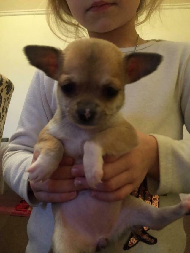 chihuahua adorable puppy's smooth coat long haired pups not pomeranian  french bulldog pug blue dad | in redcar, north yorkshire | gumtree