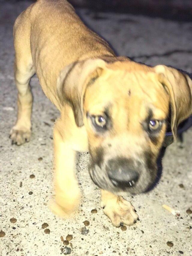 puppies alano espanol puppy spanish bulldog | in tilbury, essex