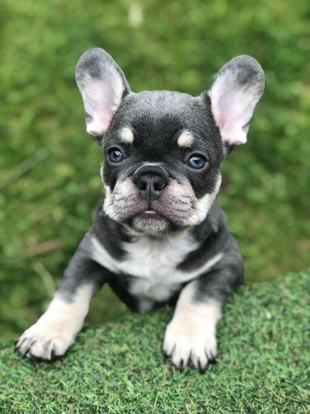 💙male lilac & tan french bulldog💙 carrying cream (quad carrier)   in  clifton, nottinghamshire   gumtree