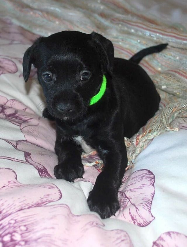 french boodle puppies * ready now* | in widnes, cheshire | gumtree