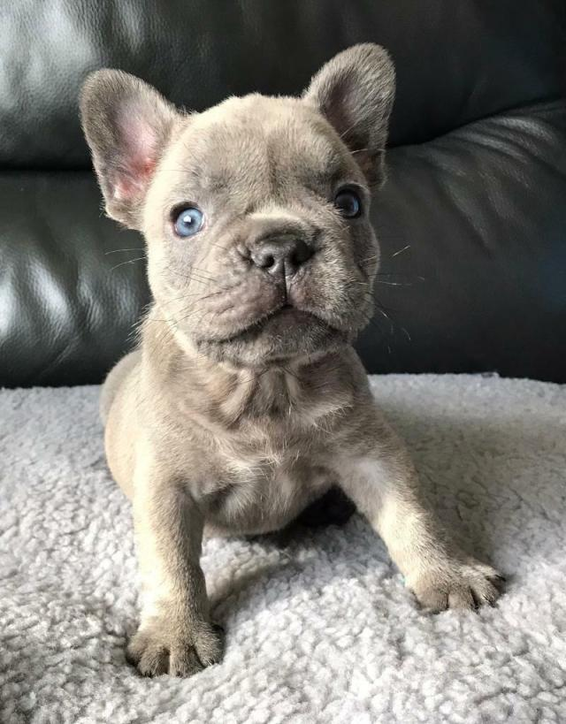 lilac french bulldog puppies ready to go | in carlisle, cumbria | gumtree