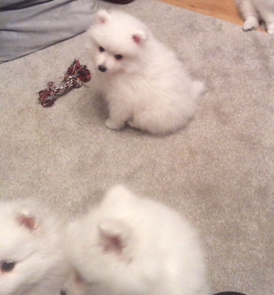 Beautiful Japanese Spitz Pups For Sale 3 Boys In Turriff Aberdeenshire Gumtree