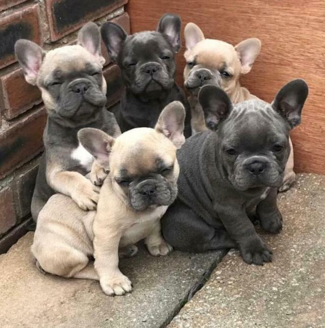 kc french bulldog puppies | in liverpool, merseyside | gumtree