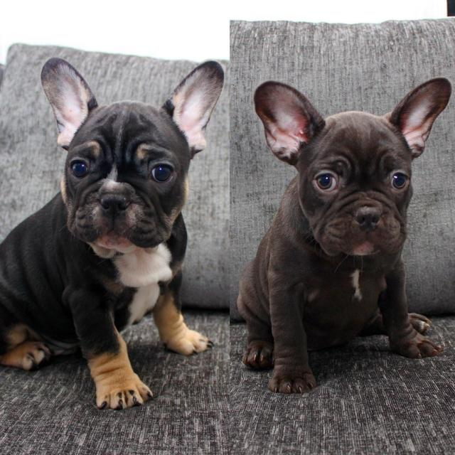 *ready now* beautiful rare lilac, choc, black&tan & blue french bulldog  puppies | in newcastle, tyne and wear | gumtree