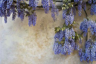 Garten Blumen Samen Rarität seltene Pflanzen schnellwüchsig BLAUREGEN exotisch