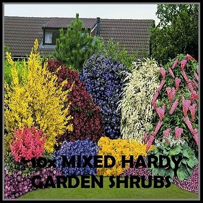 1X MIXED ESTABLISHED GARDEN SHRUBS - HIGH QUALITY POTTED ...