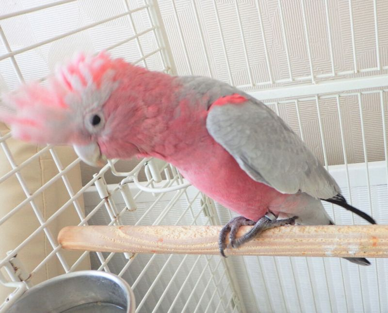 Image result for Cockatoo 7 Month Old