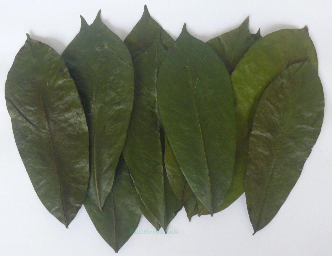 Soursop Graviola Corossol Organische Tee Blätter (Annona muricata) 200 Stück