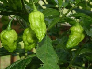 "BHUT JOLOKIA - ""GHOST PEPPER"" - Item #2174 - 20 seeds | eBay"
