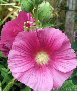 image is loading pink hollyhock alcea rosea flower seeds perennial