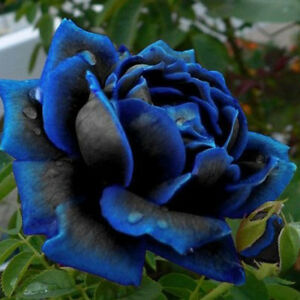 20Pcs Blooming Midnight Rose Seed Blue Black Roses Bush Flowers Rare     Image is loading 20Pcs Blooming Midnight Rose Seed Blue Black Roses