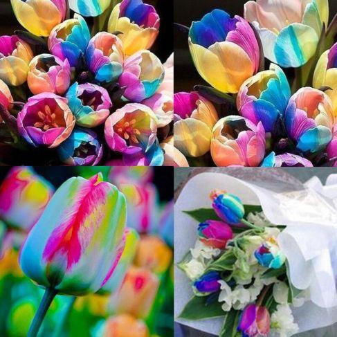 Regnbue tulipaner
