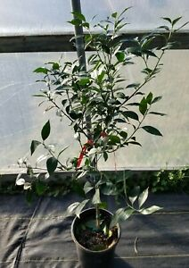 Arctic Frost Satsuma Grafted Citrus Tree Seedless 3 To 4 ...
