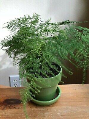 Asparagus Fern Plumosa Easy To Grow Houseplant Ebay