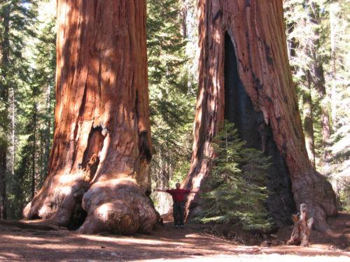 10 Seeds Sequoia gigantea Yard, Garden & Outdoor Living ... on Sequoia Outdoor Living id=41929