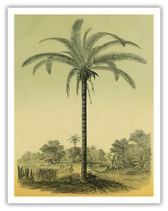 details about palm tree astrocaryum hawaii botanical aloha vintage art poster print giclee
