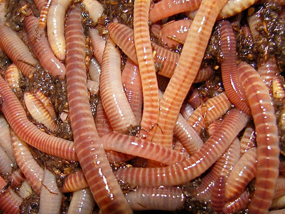 European Nightcrawler Cocoons Baby Worms Colony Starter
