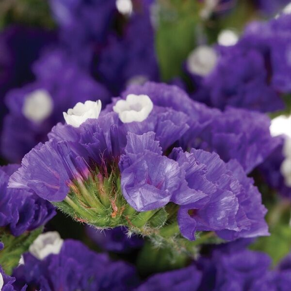 50 STATICE PURPLE ATTRACTION FLOWER SEEDS ANNUAL