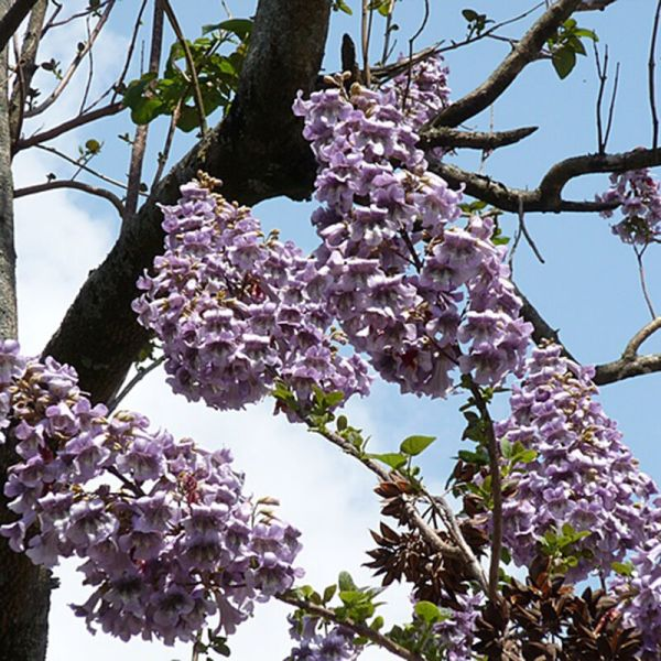 50 x Worlds Fastest Growing Tree Princess Paulownia ...