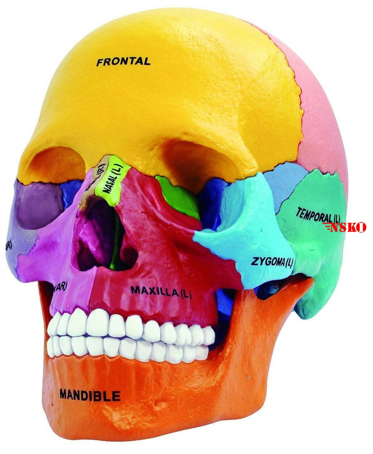 New 4d Puzzle Didactic Exploded Beauchene Skull Color