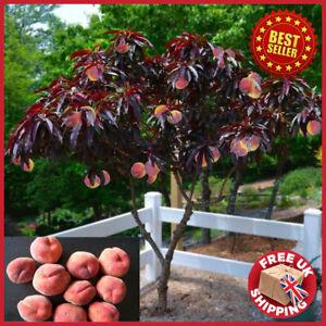 peach trees for sale ebay
