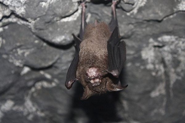 太平頭汴坑蝙蝠洞 蝙蝠再現 | 復育 | 大紀元
