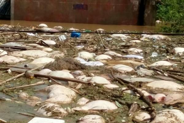 湖北天门市扒堤分洪制造人祸,近90座村庄被淹,数十万村民被困。图为村庄受灾图,数百头猪被淹死。(村民提供)