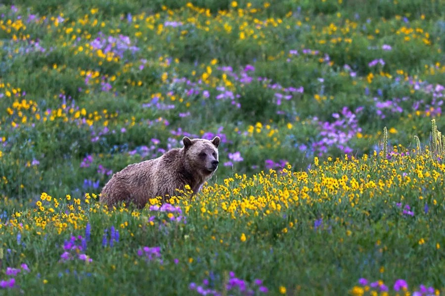 Grizzly Bear In Spring Flowers Bear Photography Print Bear
