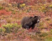 """Grizzly in Fall Colors - 8""""x12"""" Signed Metal Print"""