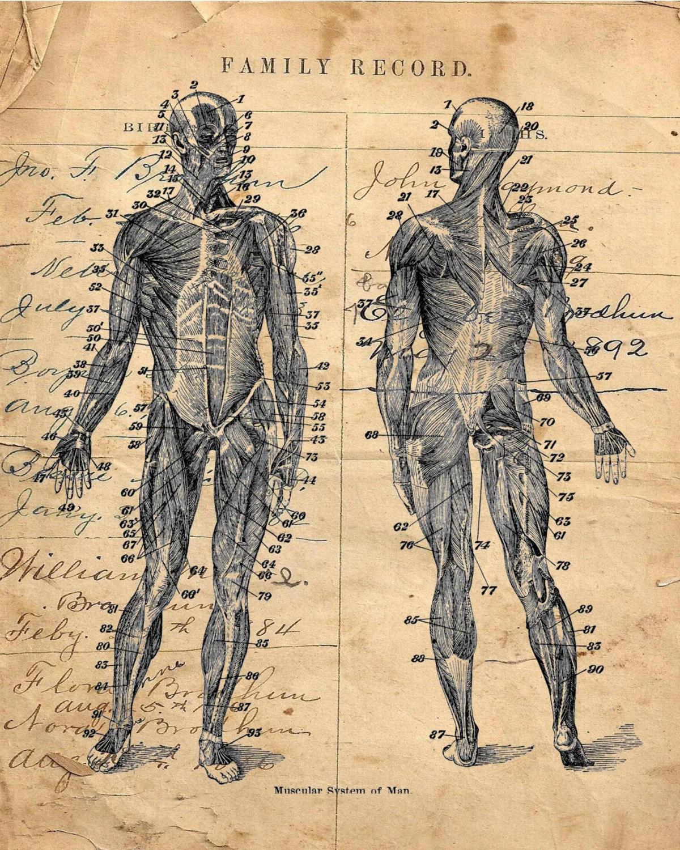 Human Body Diagram Muscular System Vintage Art Print Hbd