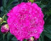 5 x 5 Sparkling Peony Flower Photograph